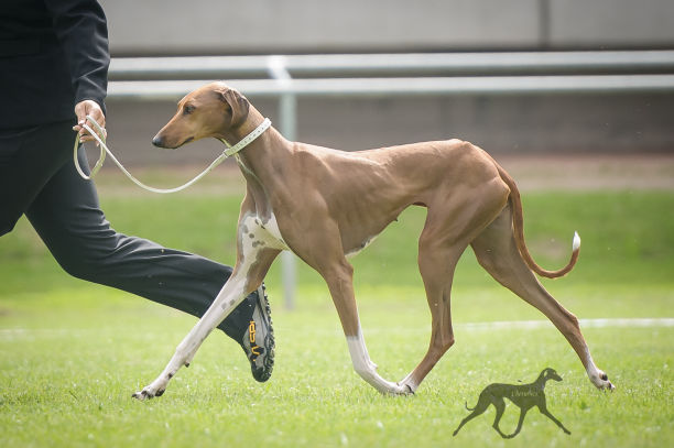 Sighthounds of Cherubics - Windhunde